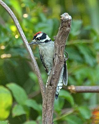 Photograph - Juvenile Downy Woodpecker by Carol Bradley