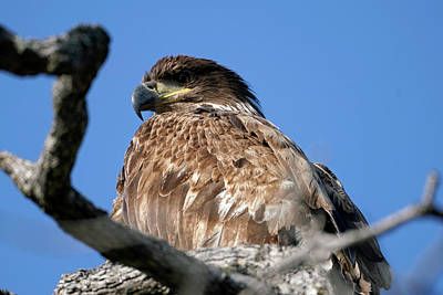 Photograph - Juvenile Eagle Close Up by Dale Matson