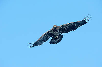 Photograph - Juvenile Eagle Flying Over Water Looking For Food by Dan Friend