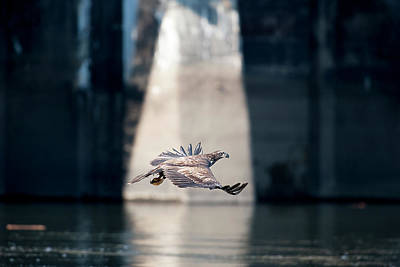 Photograph - Juvenile Eagle Flying Over Water Looking For Food In Front Of Dam by Dan Friend