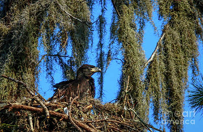 Photograph - Juvenile Eagle In Nest by Tom Claud