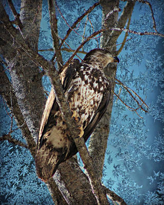 Photograph - Juvenile Eagle Perched In Tree by Kathy M Krause
