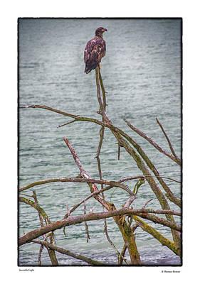 Photograph - Juvenile Eagle by R Thomas Berner
