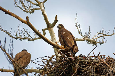 Photograph - Juvenile Eagles by Peter Ponzio