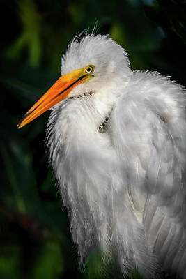 Photograph - Juvenile Egret by Cyndy Doty