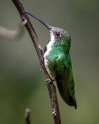 Photograph - Juvenile Female Black-throated Mango Hummingbird Jardin Botanico by Adam Rainoff