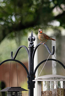 Photograph - Juvenile Female Cardinal by John Black