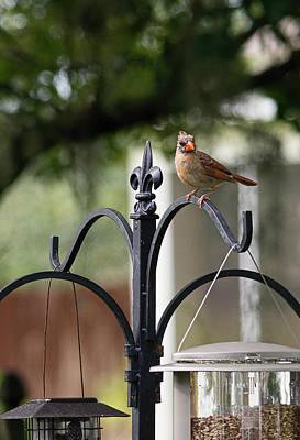 Photograph - Juvenile Female Cardinal by John Black