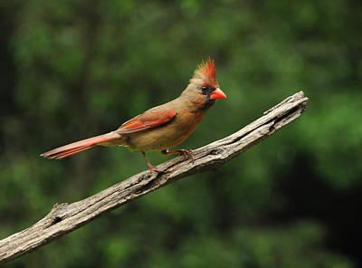 Photograph - Juvenile Female Cardinal by Mike Martin