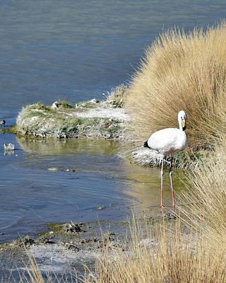 Photograph - Juvenile Flamingo No. 64 by Sandy Taylor