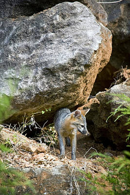 Photograph - Juvenile Gray Fox On The Bluffline by Michael Dougherty