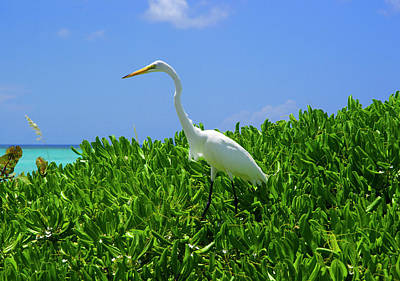 Photograph - Juvenile Great Egret, Turks And Caicos by Marie Hicks
