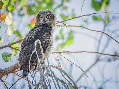 Photograph - Juvenile Great Horned Owl 0460-051318-1cr by Tam Ryan