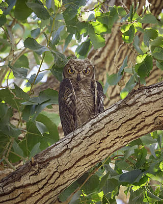 Photograph - Juvenile Great Horned Owl-img_832418 by Rosemary Woods-Desert Rose Images
