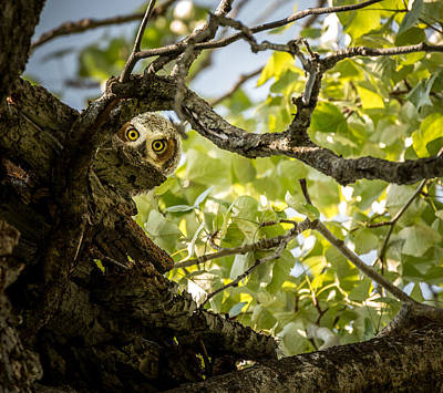 Owlets Photograph - Juvenile Great Horned Owl // Whitefish, Montana  by Nicholas Parker