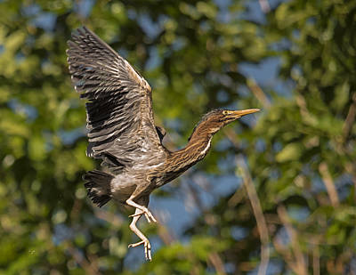 Photograph - Juvenile Green Heron In Flight by Loree Johnson