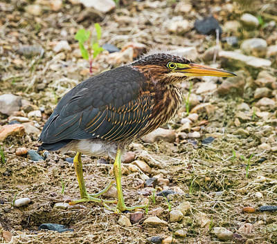 Photograph - Juvenile Green Heron by Ricky L Jones