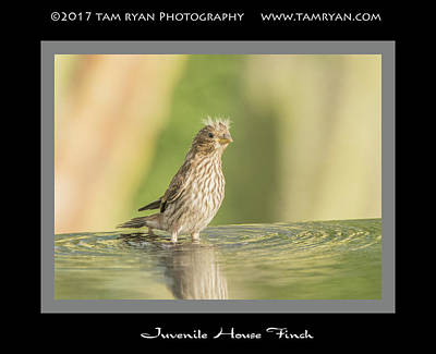 Photograph - Juvenile House Finch by Tam Ryan