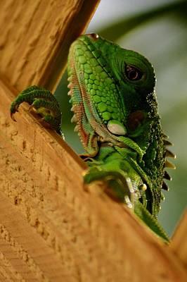 Photograph - Juvenile Iguana Usvi by Tamara Michael