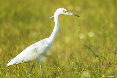 Photograph - Juvenile Little Blue Heron by Fran Gallogly