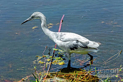Photograph - Juvenile Little Blue Heron Hunting In A Florida Marsh by Kay Brewer