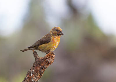 Photograph - Juvenile Male Red Crossbill by Doug Lloyd