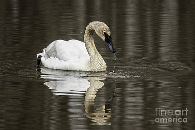 Photograph - Juvenile Mute Swan by Jeannette Hunt
