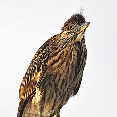 Photograph - Juvenile Night Heron Portrait by Rose  Hill