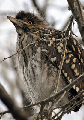 Photograph - Juvenile Night Heron by Rose  Hill