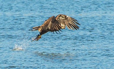 Photograph - Juvenile North American Bald Eagle Fishing Success by Jeff at JSJ Photography