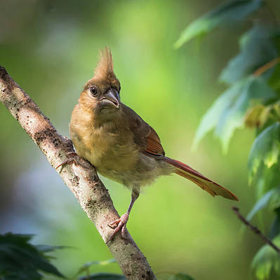Photograph - Juvenile Northern Cardinal by Van Sutherland