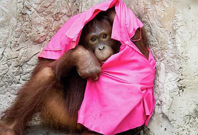 Photograph - Juvenile Orangutan by John Black