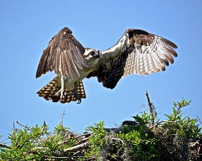 Photograph - Juvenile Osprey In Flight by Carol Bradley