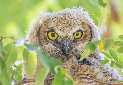Photograph - Juvenile Owl Stare by Marc Crumpler