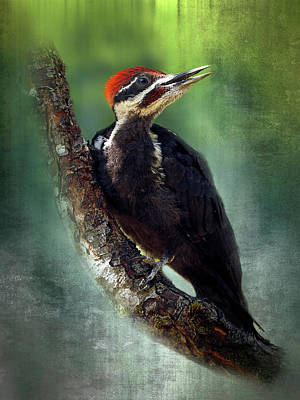 Photograph - Juvenile Pileated Woodpecker - 350-135 by Inge Riis McDonald