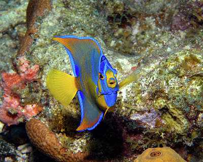 Photograph - Juvenile Queen Angelfish, U. S. Virgin Islands by Pauline Walsh Jacobson