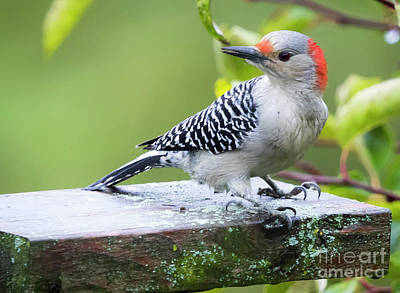 Photograph - Juvenile Red-bellied Woodpecker In The Rain by Ricky L Jones