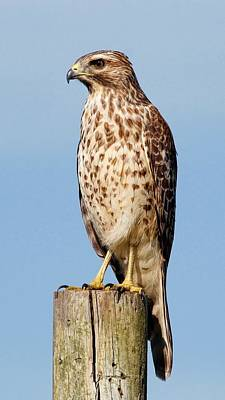 Photograph - Juvenile Red-shouldered Hawk by HH Photography of Florida