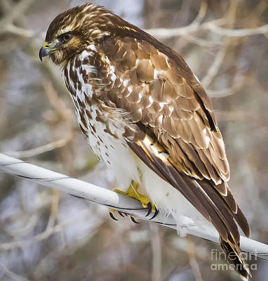 Photograph - Juvenile Red-shouldered Hawk  by Ricky L Jones