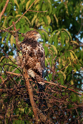 Photograph - Juvenile Red Tailed Hawk 1 by Bill Wakeley