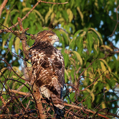 Photograph - Juvenile Red Tailed Hawk 1 Square by Bill Wakeley