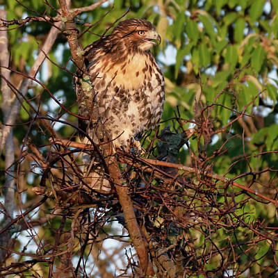 Photograph - Juvenile Red Tailed Hawk 2 by Bill Wakeley