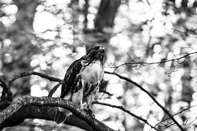Photograph - Juvenile Red-tailed Hawk In Black And White by Tracy Winter