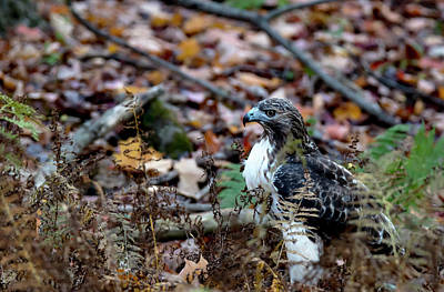 Photograph - Juvenile Red-tailed Hawk In The Leaves by Tracy Winter