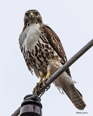 Photograph - Juvenile Red-tailed Hawk On Raptor Road by Stephen Johnson