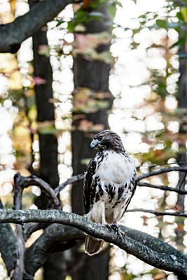 Photograph - Juvenile Red-tailed Hawk  by Tracy Winter