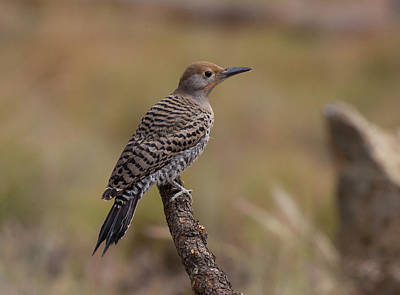 Photograph - Juvenile Redshafted Flicker by Doug Lloyd