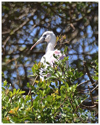 Photograph - Juvenile Roseate Spoonbill by Carol  Bradley