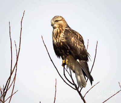 Photograph - Juvenile Rough-legged Hawk  by Ricky L Jones