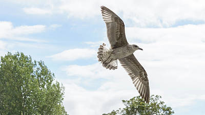 Photograph - Juvenile Seagull In Flight by Jacek Wojnarowski